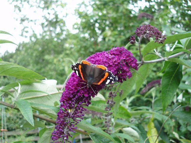 2013-08-05-sommerfuglbusk