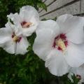 2013-08-05-hibiscus-r-h