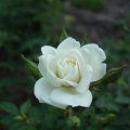 2013-08-05-rosa-wh_-cover_