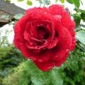 2013-08-05-rose