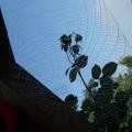 2013-08-05-rosespin